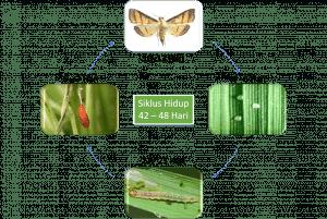 Siklus hidup penggulung daun