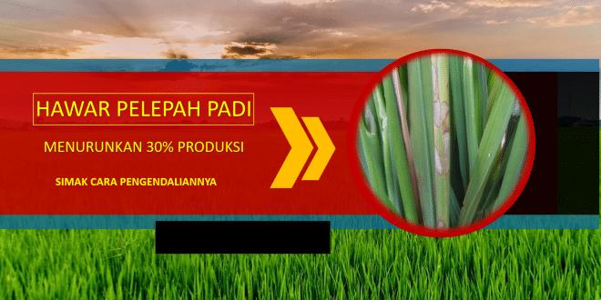 hawar pelepah padi