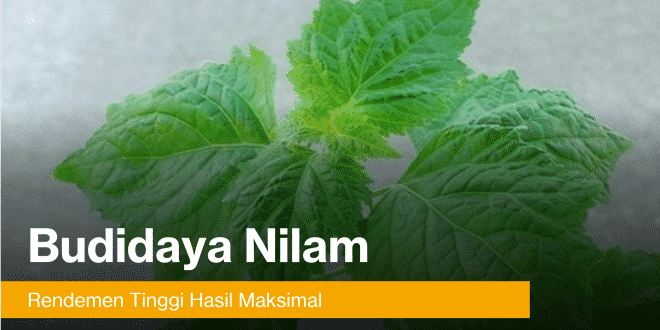 tanaman nilam rendemen tinggi